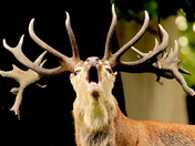 A Stag rutting at Holkham,