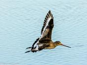 The Flight of the Godwit