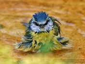 Blue Tit bathtime