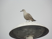 A gull on light duties.