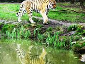 Tiger reflection in the pool.