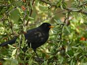 Blackbird After The Berries