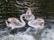 Swan Symmetry