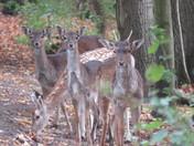 Fallow Deer & Fawns