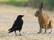 When Hare meets Mr Crow.