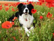 Poppies for Remembrance.