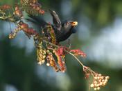 Blackbird on Rowan Tree