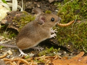 Mouse munches on mealworms.