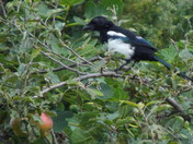 IMAGES OF A MAGPIE