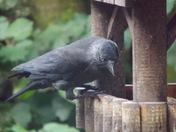 JACKDAWS FEEDING ON THE BIRD TABLE