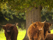 Highland Cattle.
