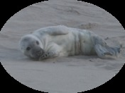 A baby grey seal at Horsey Gap