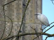 A little egret at wymondham