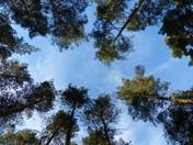 Tree Canopy In  Sandringham Woods