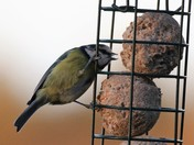 Blue tit on the fat ball feeder