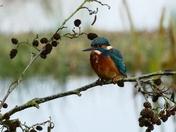 Kingfisher among the cones.