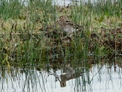 Snipe amongst the reeds.