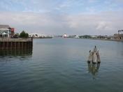 Cormorants on Lake Lothing