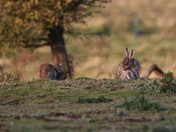 Bunnies at Minsmere