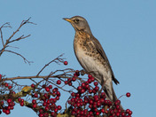 Fieldfare & Berries