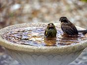 Sharing the bird bath