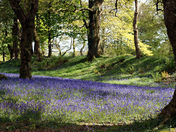 Bluebells at Blackbury Camp
