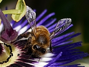 Bee on my Passion Flower