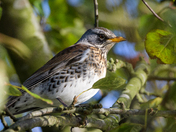Fieldfare in the apple tree