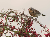 The Fieldfare