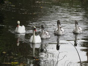 Gang of Swans