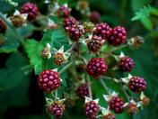 Vibrant Wild Berries