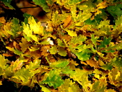 Vibrant colours in the oak leaves