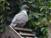 TWO IMAGES OF A WOODPIGEON
