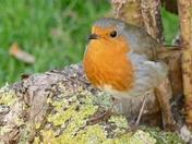 Robin in the garden.