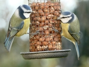 Blue tits on the feeder.