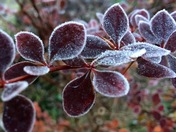 Autumnal leaves edged by the frost