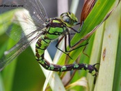 Patterns on a Dragonfly Oviposting (laying eggs )