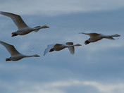 Whooper Swans Arrival.