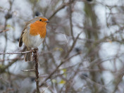 Robin on Blackthorn