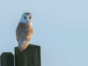 Barn Owl on the Lookout.