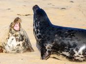 Seals at Horsey Gap, Norfolk