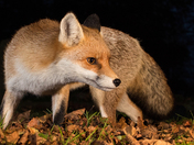A close up of a beautiful Red Fox.