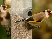 Goldfinches brighten a damp,dull day.