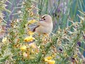 Goldcrest in the gorse bush