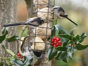 Long tailed tits feed on suet balls.