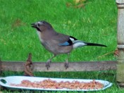MORE VISITS BY THE JAY