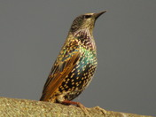 A BEAUTIFUL STARLING ENJOYING THE AFTERNOON SUN