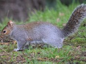 More Grey Squirrels