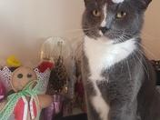 Sheldon the 3 Legged Rescue Cat getting in the Festive spirit!