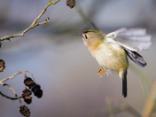 Hovering Goldcrest
